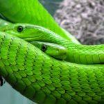 Giftige Schlangen