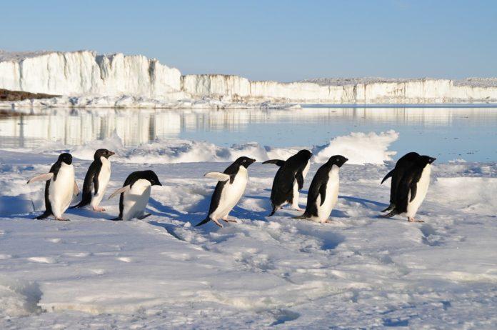 Pinguine: Die monogamen Smokingvögel, die unter Wasser fliegen